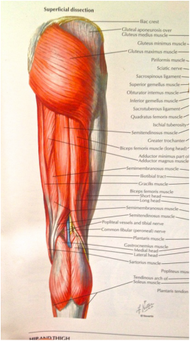 hamstrings from Netter's Picture